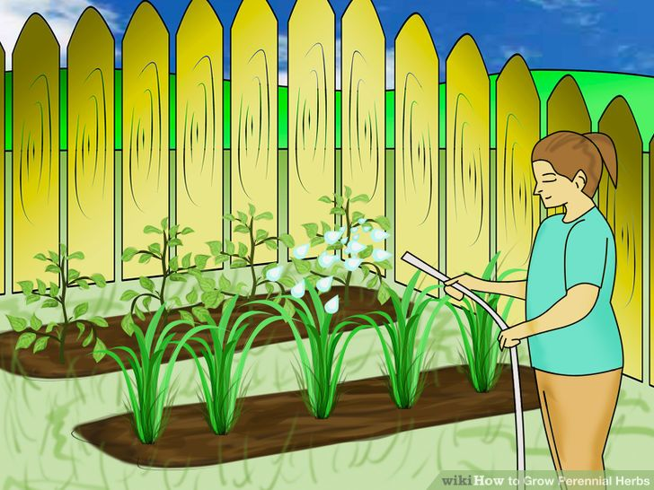 How to Grow Perennial Herbs: 7 Steps (with Pictures).