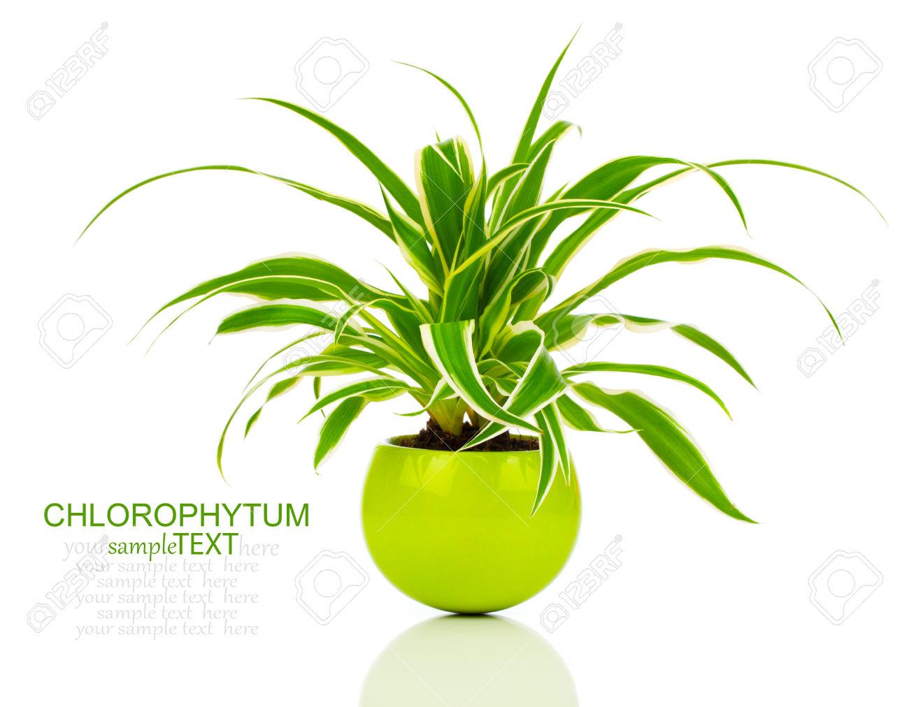 Green Chlorophytum Plant In The Pot, Evergreen Perennial Flowering.