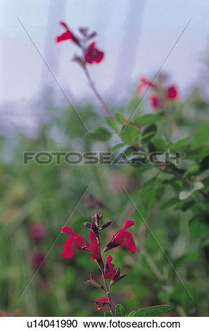 Stock Photography of perennial plant, flowers, mint plant, plants.
