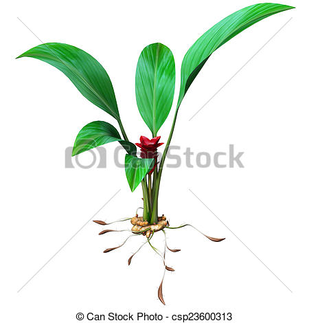 Clipart of Turmeric is a rhizomatous herbaceous perennial plant of.