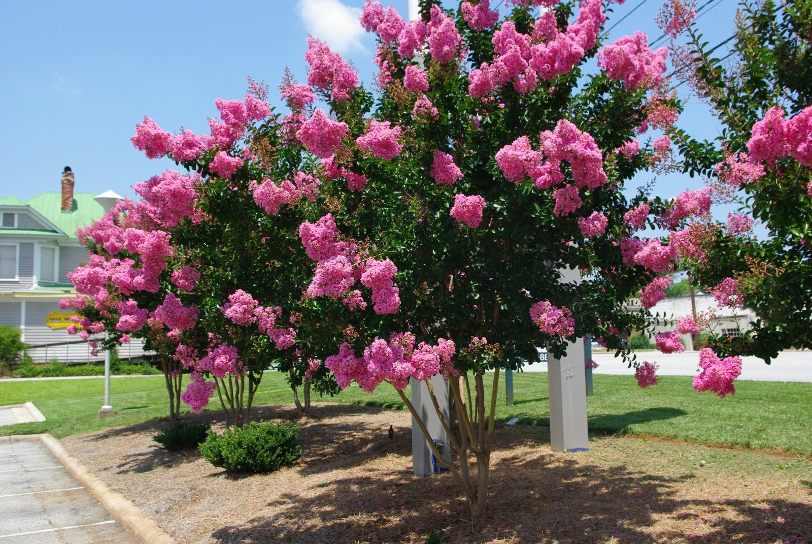 Diva Enjoy These Summer Blooming Trees Shrubs And Perennials.