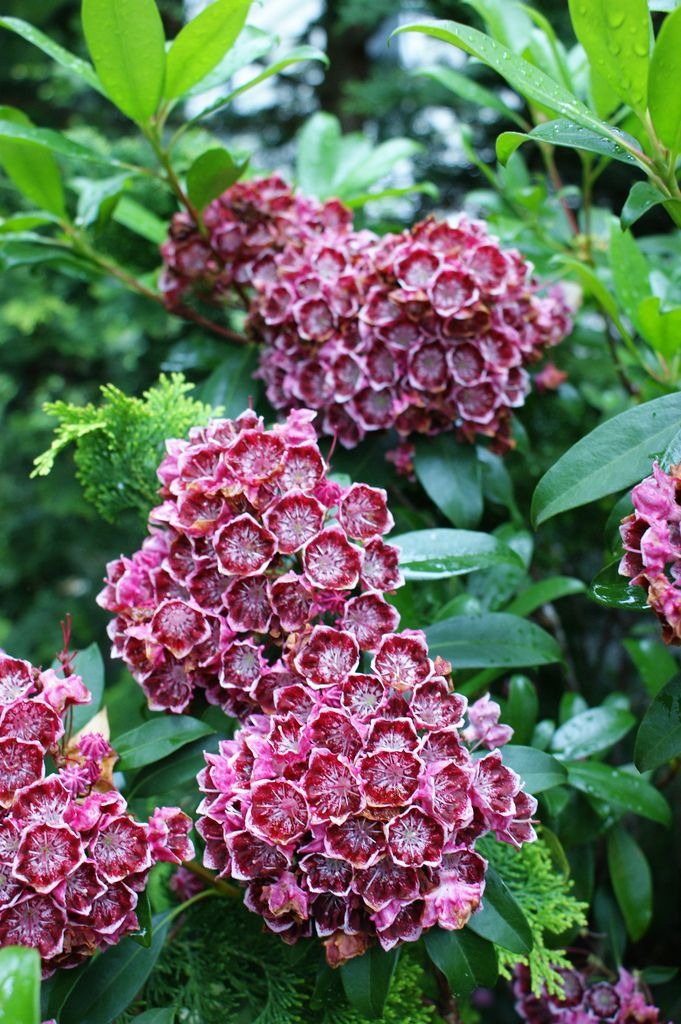 1000+ ideas about Kalmia Latifolia on Pinterest.