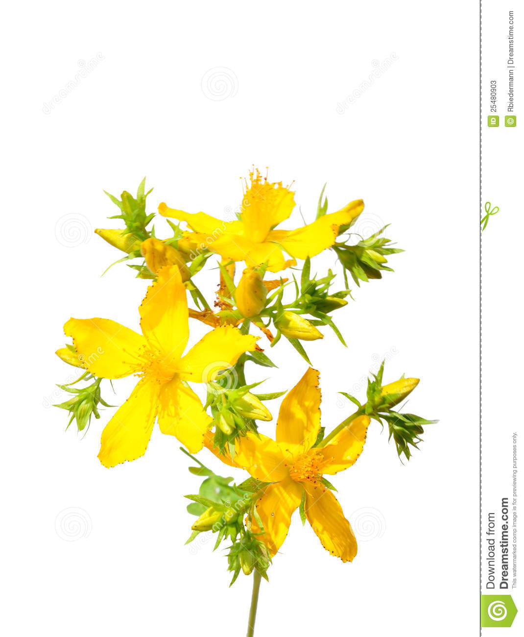 St. John's Wort (Hypericum Perforatum) Stock Photos.
