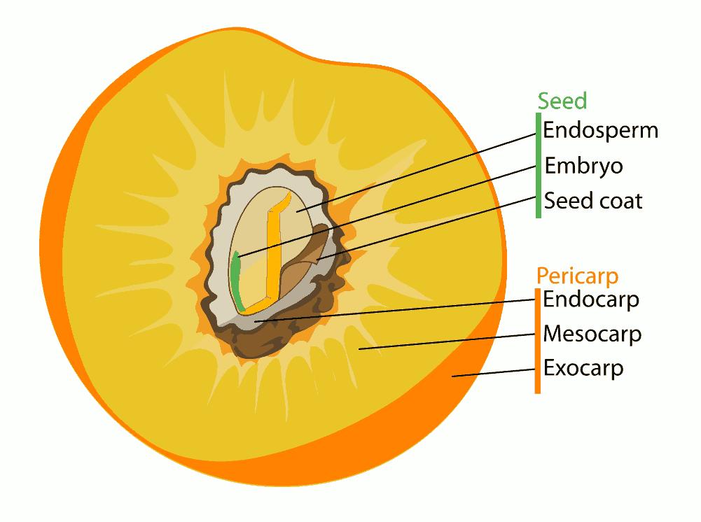Mesocarp Peach Peach Pit Peach Pit Diagram Peach Seed Pericarp.