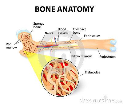 Anatomy Stock Illustrations.