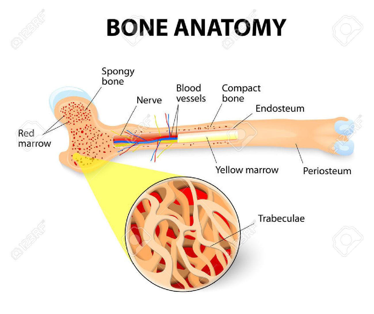 Anatomy Of The Long Bone. Periosteum, Endosteum, Bone Marrow.
