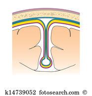 Periosteum Clip Art and Illustration. 16 periosteum clipart vector.