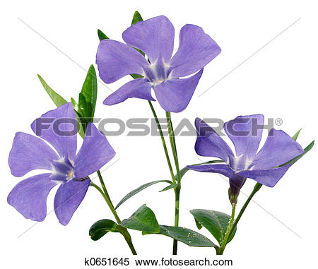 Periwinkle Stock Photo Images. 1,410 periwinkle royalty free.