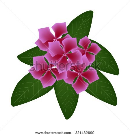 Beautiful Flower, Illustration Of Pink Cape Periwinkle, Bringht.