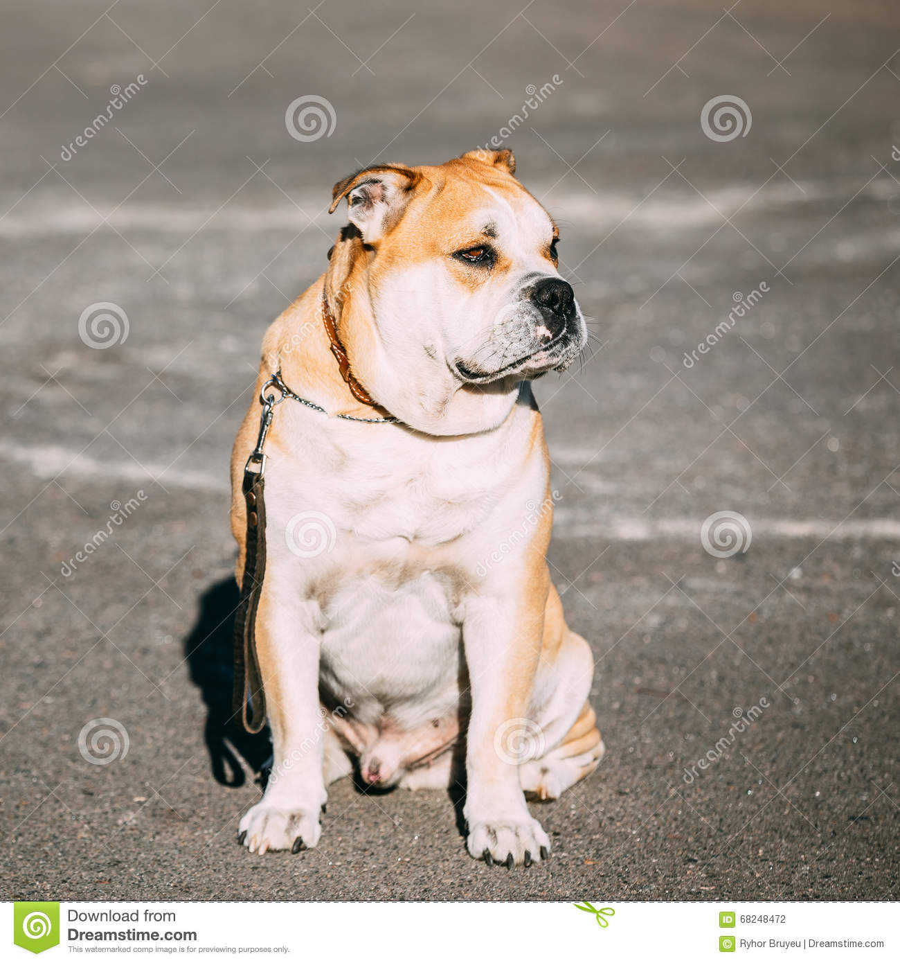 Perro De Presa Canario Royalty Free Stock Photography.