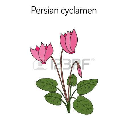 208 Cyclamen Stock Vector Illustration And Royalty Free Cyclamen.