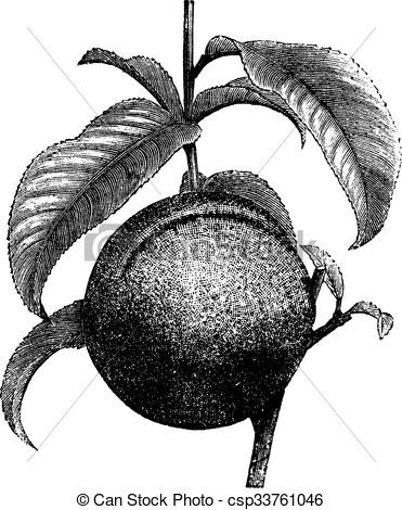 EPS Vector of Peach or Prunus persica, vintage engraving.