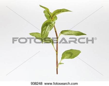 Pictures of Vietnamese coriander (Polygonum odoratum or Persicaria.