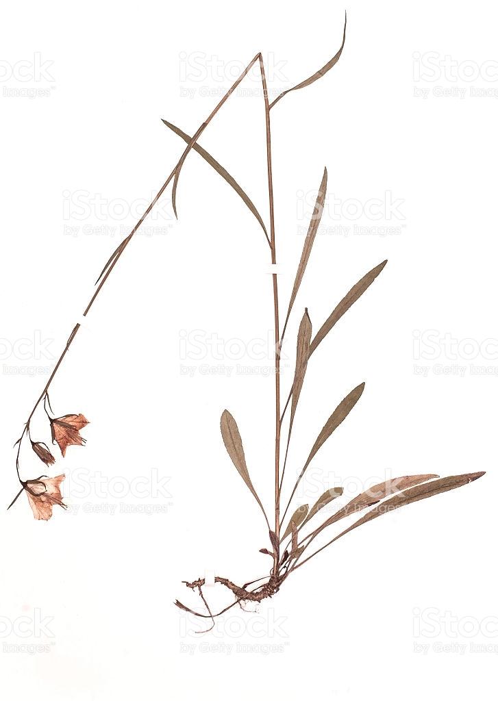 Dried Plant Campanula Persicifolia stock photo 471455806.