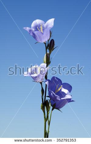Campanula Persicifolia Stock Photos, Royalty.