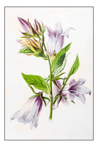 Campanula Persicifolia Clip Art, Vector Images & Illustrations.