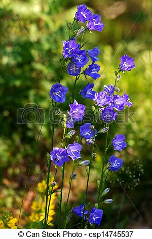 Drawings of Cluster of Bluebell or Campanula persicifolia.