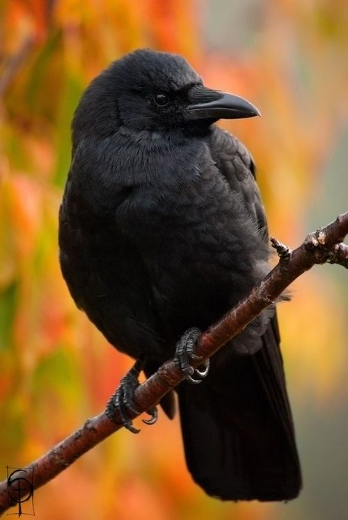 17 Best images about CORVIDAE (RAVENS, CROWS, and more) on.