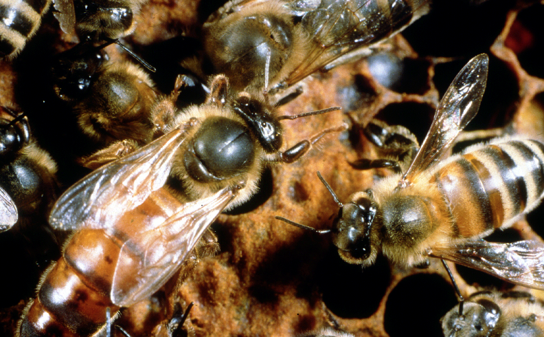 Understanding the Colony Collapse Disorder of the Honey Bee.