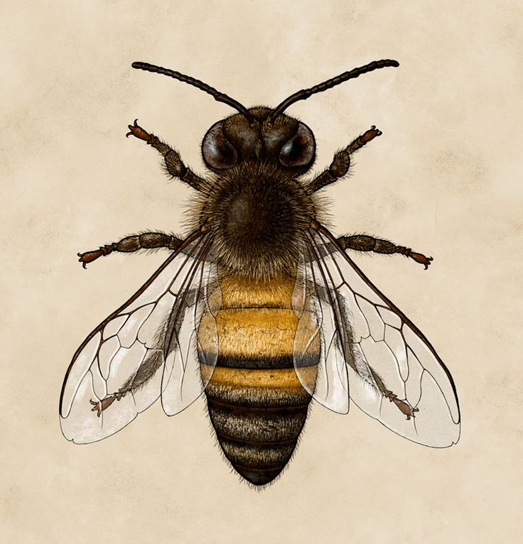 1000+ ideas about Honey Bees on Pinterest.