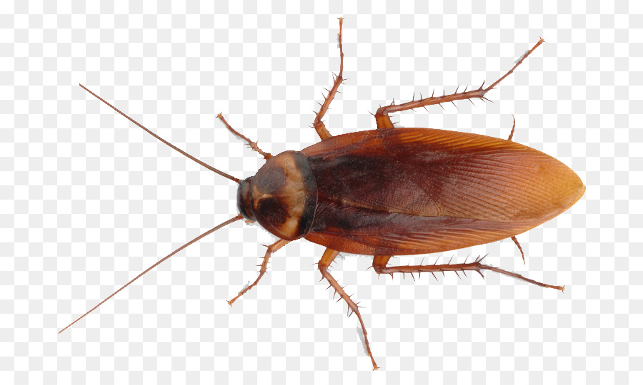 American Cockroach Insect Pest Control.