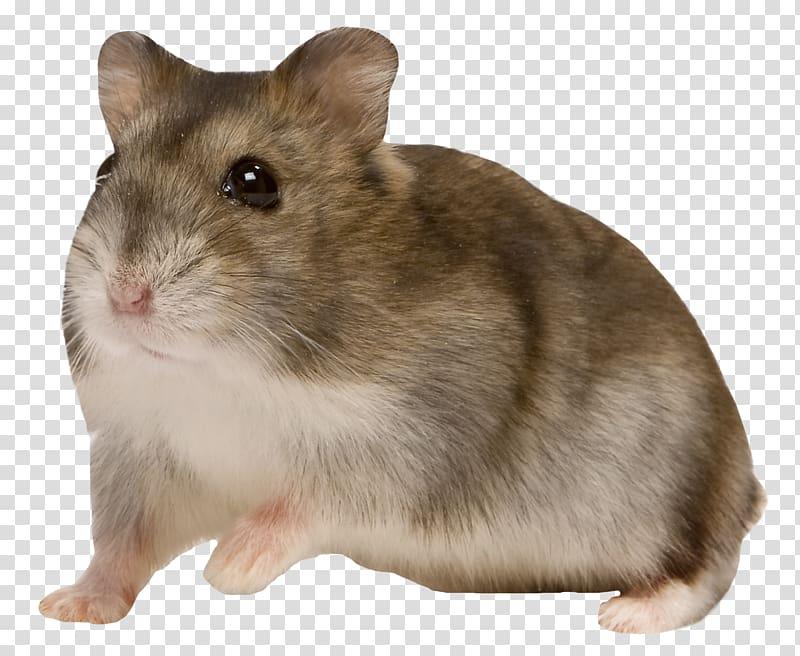 Djungarian hamster European hamster Roborovski hamster Pet.