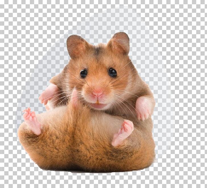 Golden hamster Teddy Bear Hamsters Pet, hamster PNG clipart.