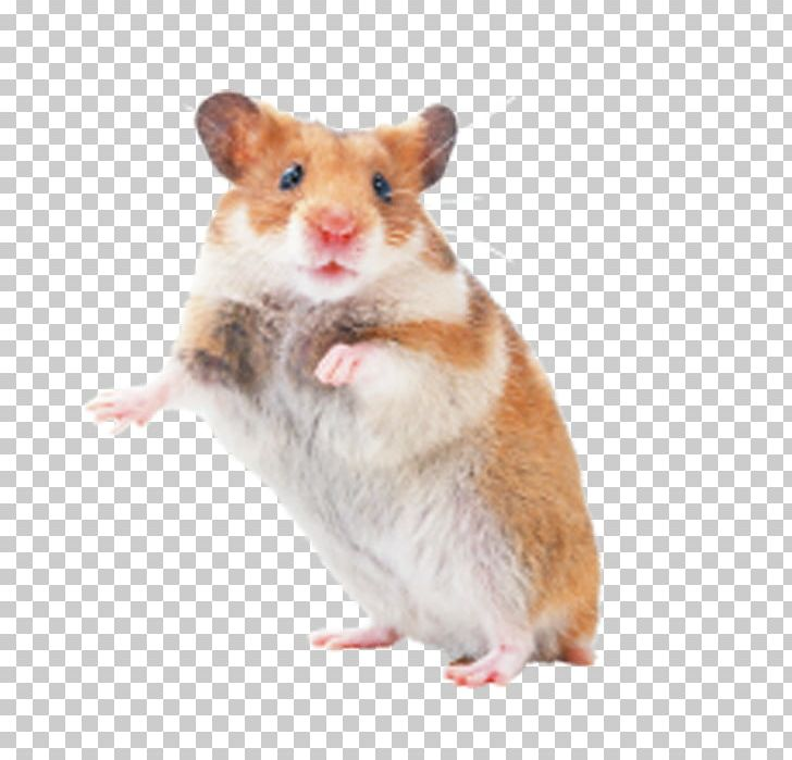 Hamster Rat Mouse Rodent Pet PNG, Clipart, Animals, Cage.