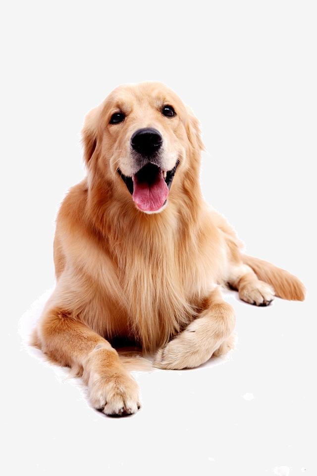Dog Pet Golden Retriever, Golden, Pet Dog, Puppy PNG Image.