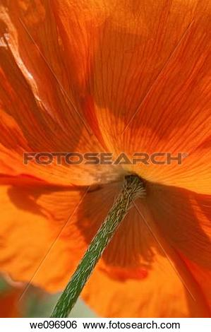 Stock Images of The underside of a glowing orange poppy we096906.