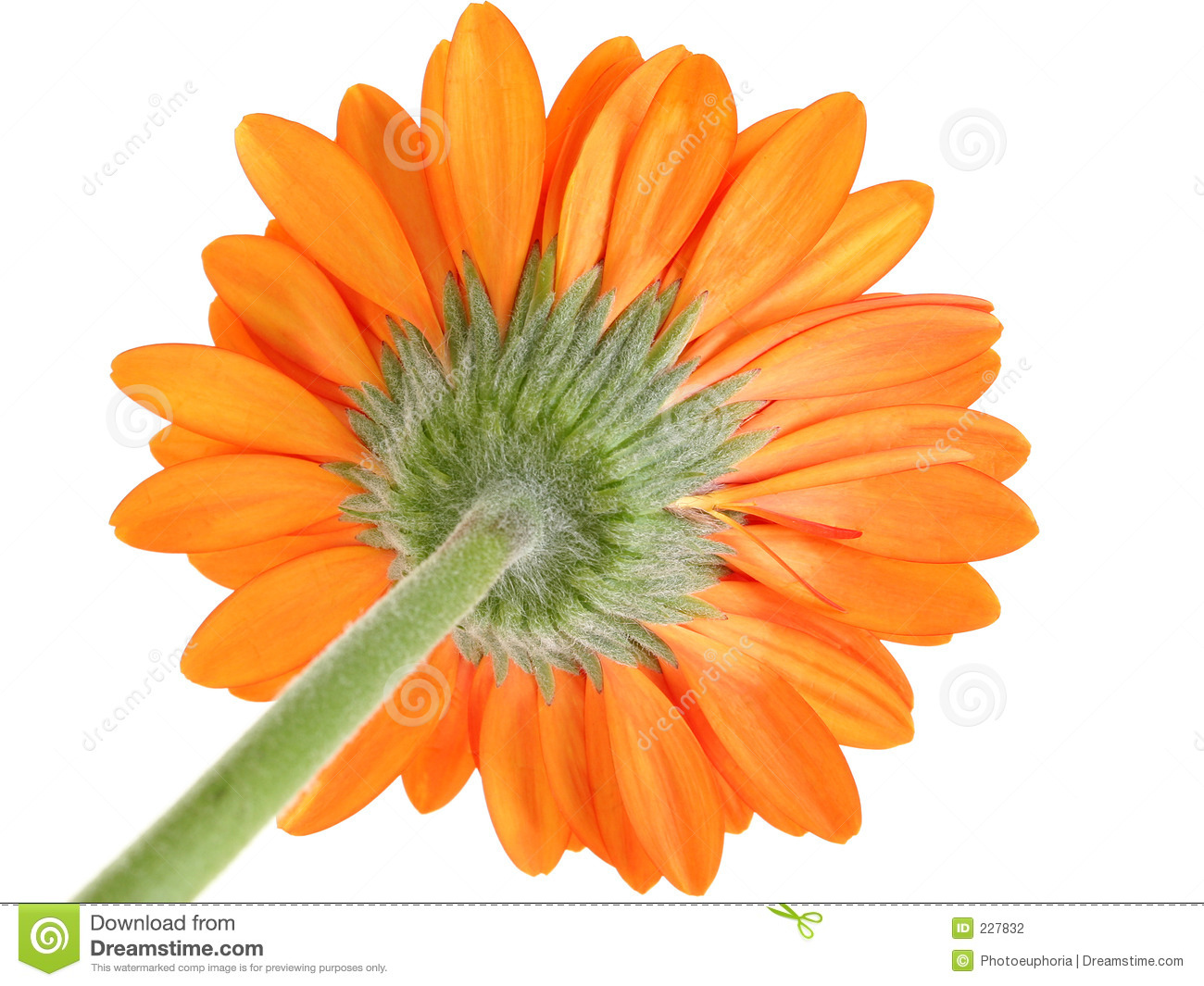 Underside Of Orange Gerber Daisy Focus On Sepal Stock Photography.