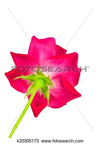 Stock Photo of Underside of red rose k20305173.