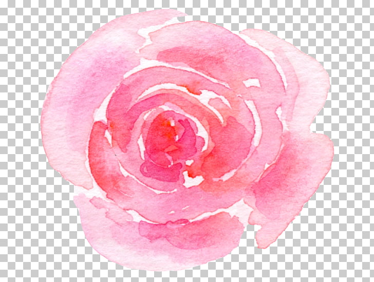 Jardín rosas repollo floribunda rosa cuidado de la piel.