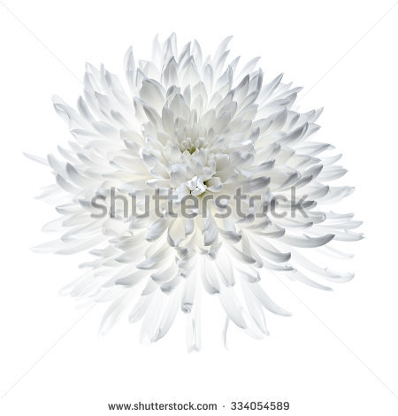 Chrysanthemum Isolated Stock Photos, Royalty.