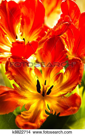 Stock Photo of Parrot tulips with backlight k8822714.