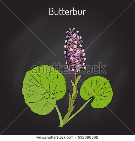 Butterbur Stock Photos, Royalty.