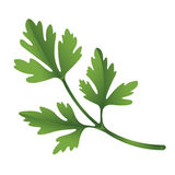 Curly Leaf Parsley Stock Illustrations.