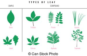 Petioles Illustrations and Clip Art. 211 Petioles royalty free.