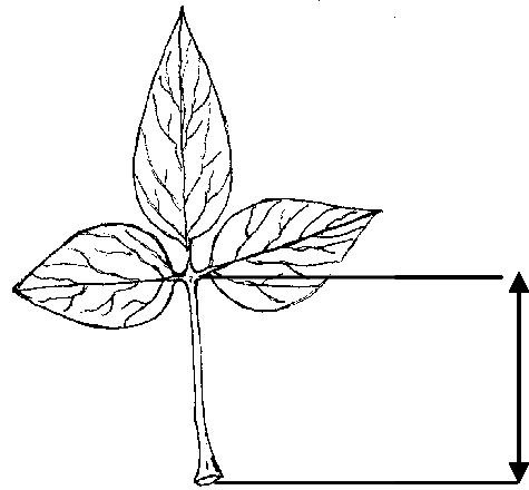 Terminal leaf width (TLW) 2.1.7 Petiole length [cm] Mean length.