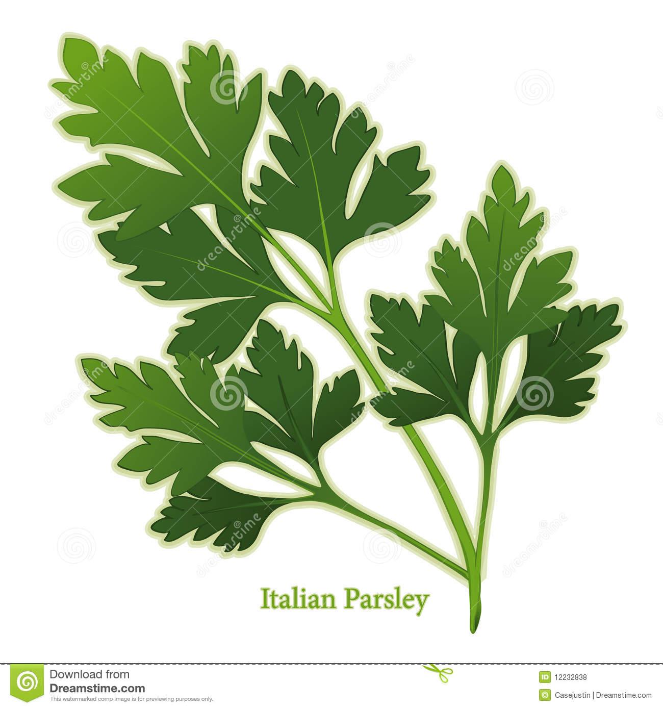 Fresh Italian Parsley Herb Stock Illustrations.