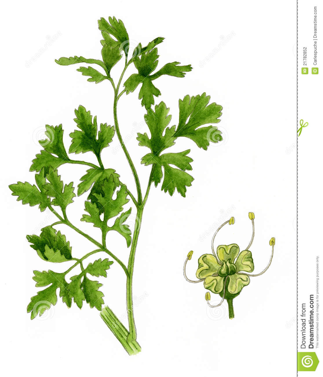 Parsley Leaves And Flower (Petroselinum Crispum) Stock Photography.