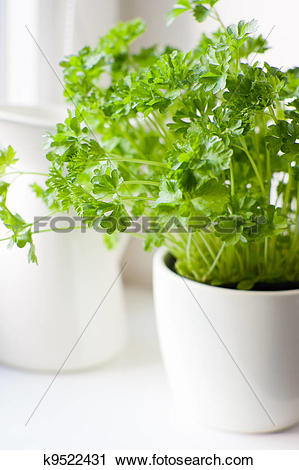 Clipart of Green parsley (Petroselinum hortense) in a pot on a.