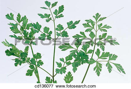 Picture of Parsley (Petroselinum hortense) cd136077.