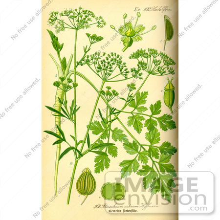 Picture of Parsley (Petroselinum crispum).