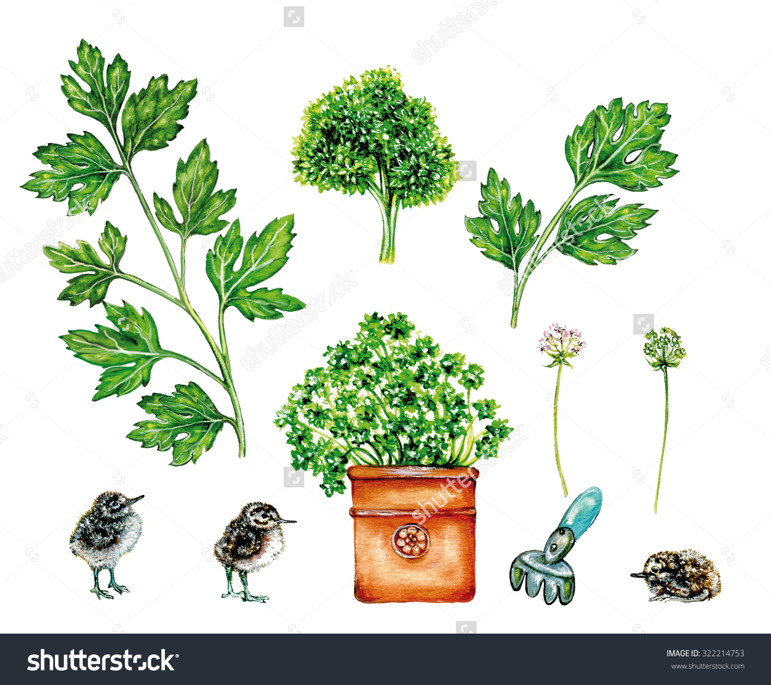 Realistic Illustration Parsley Plant Petroselinum Crispum Stock.