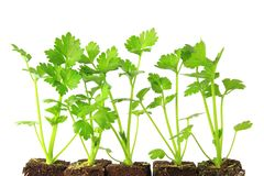 Parsley Leaf (Petroselinum Crispum) Stock Photography.