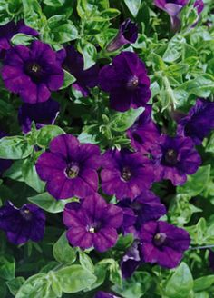 Suntory trailing petunia 'Deep Red'. This petunia is stunning all.