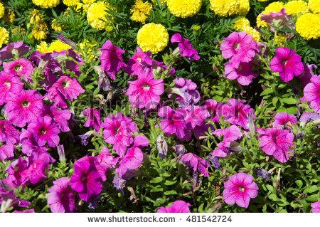 Petunia. Stock Photos, Royalty.