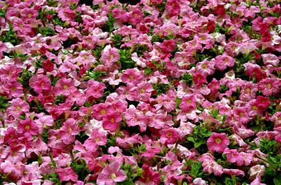 Petunia x atkinsiana 'Storm Pink'.