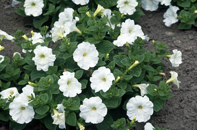 Petunia x atkinsiana Carpet Series.